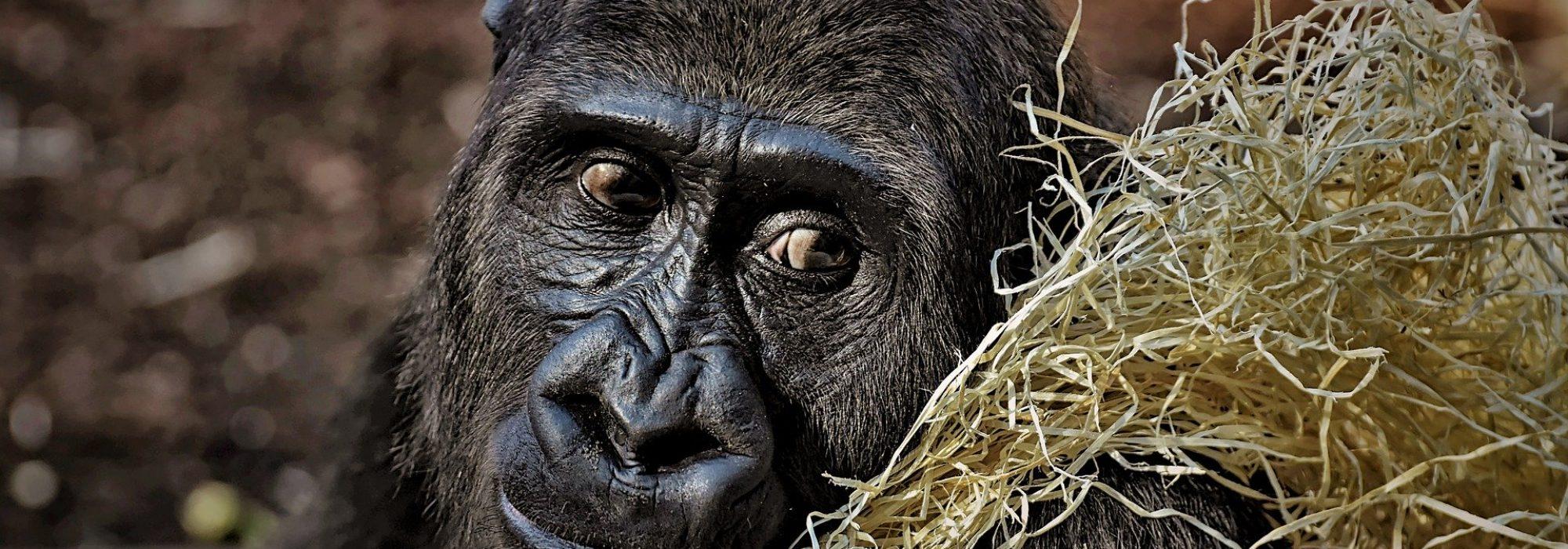 gorilla-3586621_1920